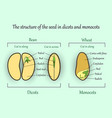 seed structure vector image vector image