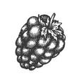 raspberry hand drawn sketch fruit vector image vector image