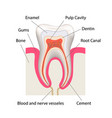 detailed human tooth anatomy infographic chart vector image vector image