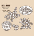shea tree branch nuts and shea butter in sketch vector image
