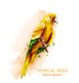 tropic parrot yellow bird watercolor vector image vector image