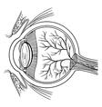 Human eyeball vector image vector image