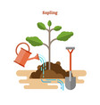 sapling process with plant shovel and soil vector image vector image