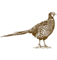 engraving pheasant vector image vector image