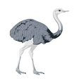 ostrich bird detalised on white background vector image vector image