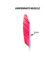 structure skeletal muscle unipennate vector image vector image