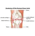 Human knee joint anatomy vector image vector image
