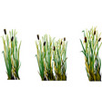 marsh grass cane isolated element white background vector image