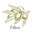 Olives branch of olive bunch sketch vector image