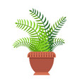green fern with thick long leaves in big clay pot vector image