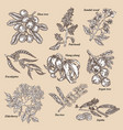 medical and cosmetics plants hand drawn jojoba vector image vector image