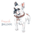 sketch domestic dog french bulldog breed vector image vector image