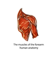 A structure of muscles of the shoulder vector image vector image