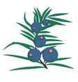 juniper berries brunch vector image vector image