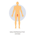 male reproductive system isolated man anatomy vector image vector image