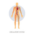 circulatory system isolated human anatomy veins vector image