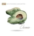 Watercolor of avocado No vector image vector image