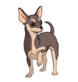 colored chihuahua on a whit vector image vector image