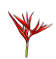 strelitzia exotic isolated on vector image vector image