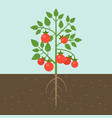 tomato plants vegetable with root in soil texture vector image vector image