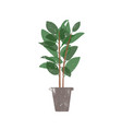 rubber plant in ceramic pot flat vector image