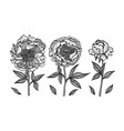 hand-drawing peonies graphic flowers vector image vector image