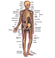 Skeleton diagram vector image