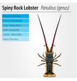 Spiny rock lobster - Panulirus vector image vector image