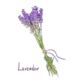hangs lavender bunch with a jute rope sketch vector image vector image