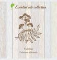 valerian essential oil label aromatic plant