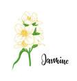 beautiful branch flower jasmine cartoon vector image