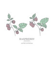 hand drawn raspberry branches vector image vector image