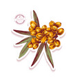 sticker with hand drawn sea buckthorn branch vector image vector image