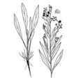 cynoglossum creticum botanical vector image vector image