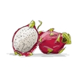 Dragon Fruit pitahaya sketch for your design vector image vector image