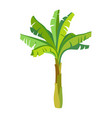 banana palm tree vector image vector image