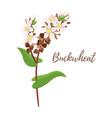 cereals - buckwheat vector image vector image
