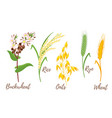 set of cereals vector image