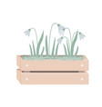 cartoon snowdrops in wooden box with moss spring vector image