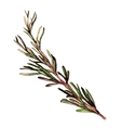 Rosemary hand drawn sketch vector image