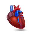 realistic detailed 3d human anatomy heart vector image