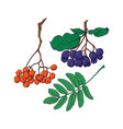 hand drawn rowan and chokeberry berries and leaves vector image