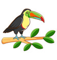 toucan bird on white background vector image vector image