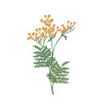 tansy or cow bitter flowers and leaves isolated on vector image vector image