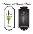 cattail typha latifolia or common bulrush great vector image vector image