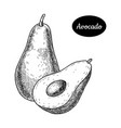 hand drawn sketch style fresh avocado vector image