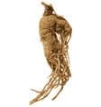 screaming mandrake root vector image