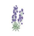 tender aconite or monkshood flowers and leaves vector image vector image
