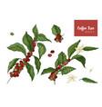 bundle of botanical drawings of coffea or coffee vector image vector image