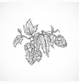 beer hops branch abstract sketch hand drawn vector image vector image